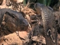 Cobra vs. Monitor Lizard - English