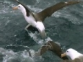 Worlds largest Albatross colony - South Atlantic Sea - English