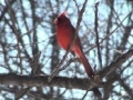 Northern Cardinal - Mini Documentary - English