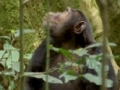 Ugandan chimps hunting - English