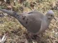 Mourning Dove - Mini Documentary - English