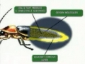 Biology & Science Questions : How Does a Firefly Produce Light? English