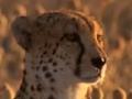 Wild Kingdom - Cheetahs vs. Warthog - English