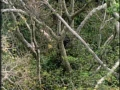Chimps Hunting in Trees - English