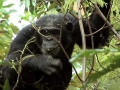 Chimps Outscore Humans - English