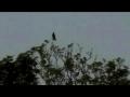 Annoying Bird - Mimicry amongst Birds-english