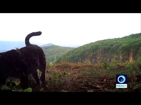 World\'s rarest cat \'caught on cam\' in Russia\'s Leopard Park